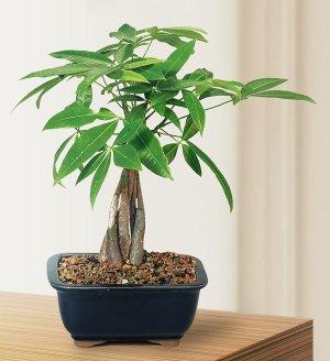 $16.04Brussel's Money Tree Bonsai